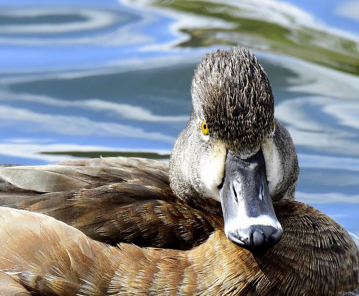 Ring-neck Hen