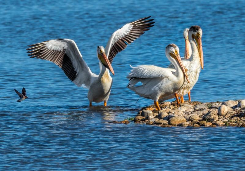 03 0081 Pelicans + Swallow.jpg