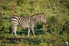 Sunlight and Zebras