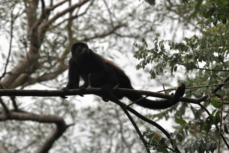 Costa Rica Hauler Monkey  http://sillymonkeyphoto.com