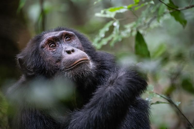 Uganda_T_Chimps-834.jpg