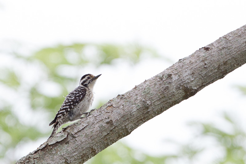 Ladder-backed Woodpecker - Brownsville, TX, USA