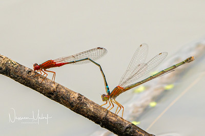 Dragon Fly Georges River