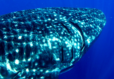 2014 Whale Shark - Cave Diving