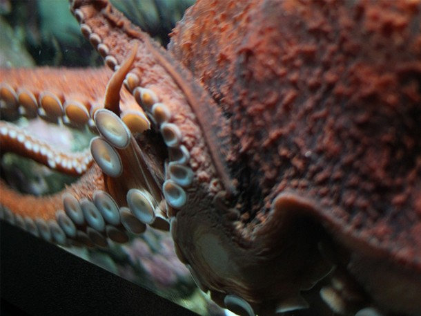 . The Giant Pacific Octopus is an incredibly intelligent sea creature, documented as having learned how to open jars and solve mazes in lab tests. (Photograph provided by Sharp Entertainment)