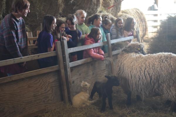 Baby lambs at COA's Rockefeller farm