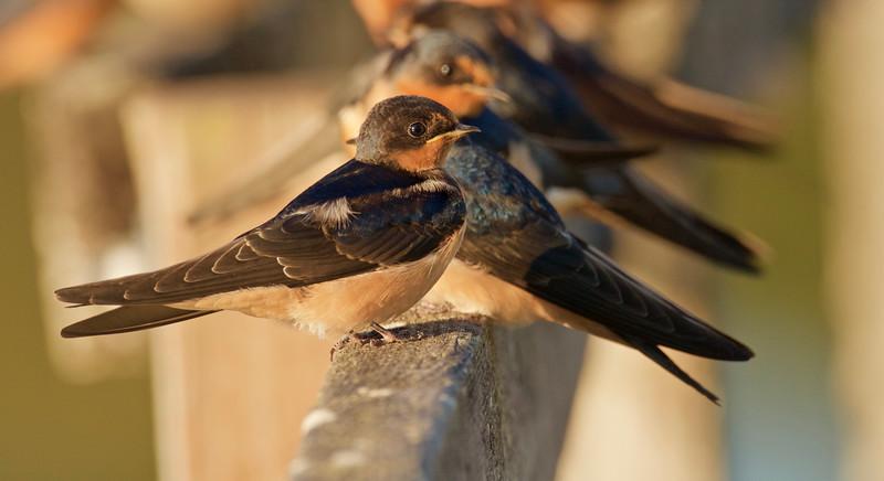 Barn Swallows
