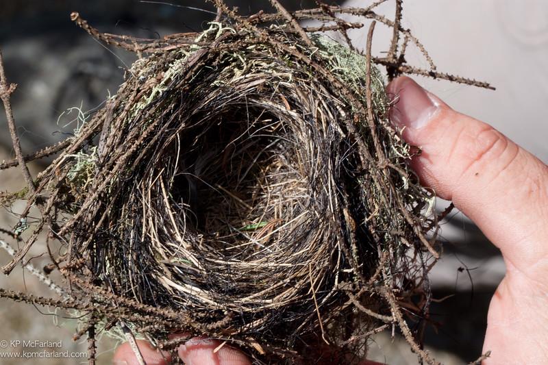 Blackpoll Warbler nest, Mt. Mansfield, VT