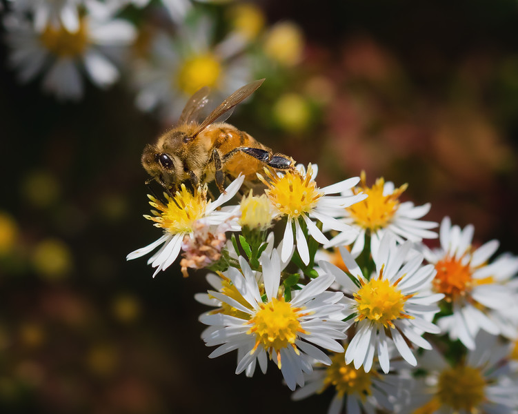 Honey Bee Feeding in Fall