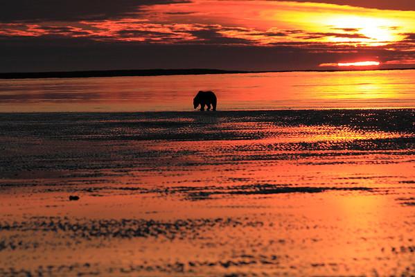 Brown Bear Silver Salmon Creek Alaska Dawn 2012