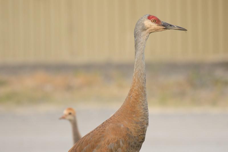 Sandhill Cranes Alaska 2019-3.jpg