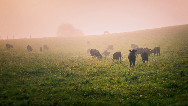 Early Morning Cow Pasture