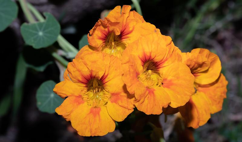nasturtiums-9744.jpg