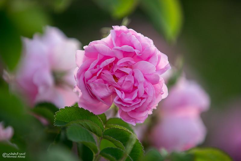 Roses Water (56)-Aljabal Alakhdhar-Oman.jpg