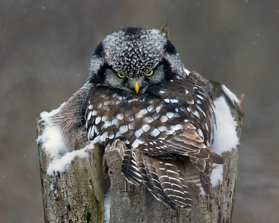 Northern Hawk Owls