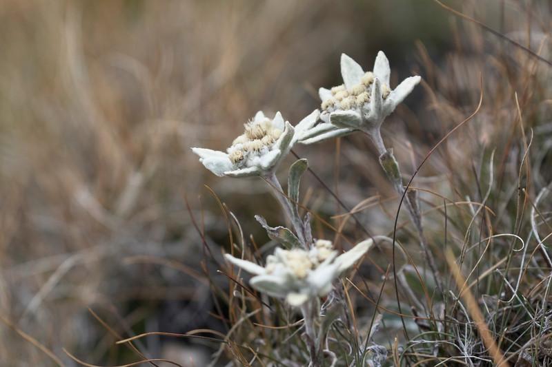 col de champillon, edelweiss