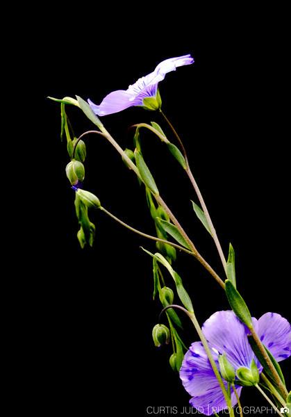 FlaxBlossom1.jpg