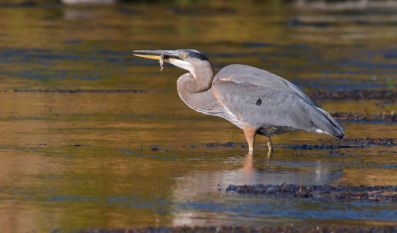 A Great Blue Heron stalks the shallows of the Madison River [September; Yellowstone National Park, Wyoming]