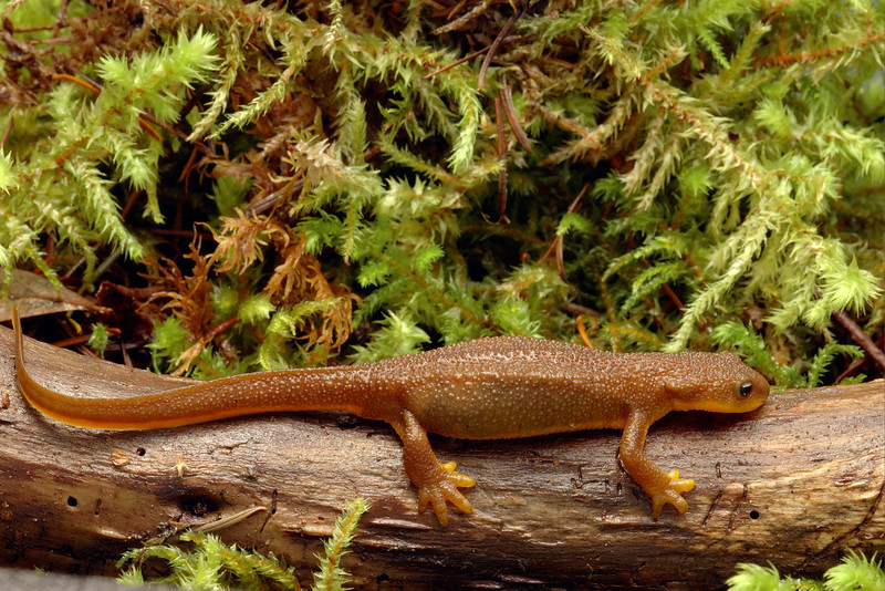 Rough-skinned Newt Vancouver Island.