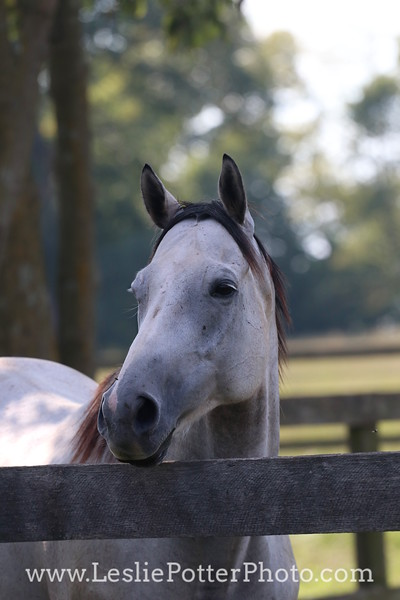 Gray Thoroughbred horse looking over the fence