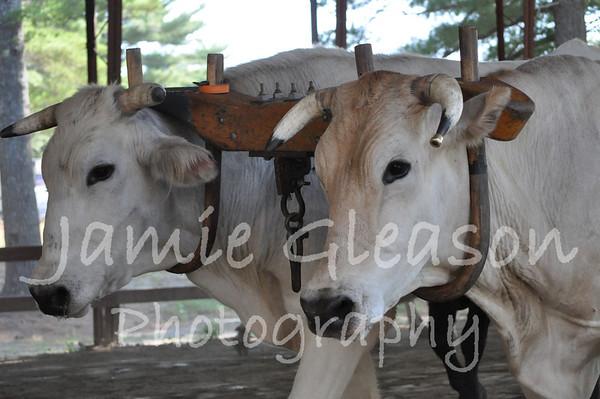 Steer & Ox Pulling