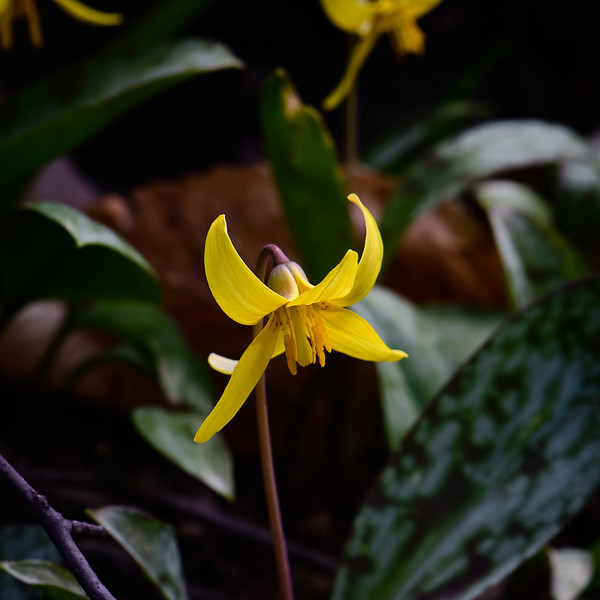 Trout Lily, Maybury State Park