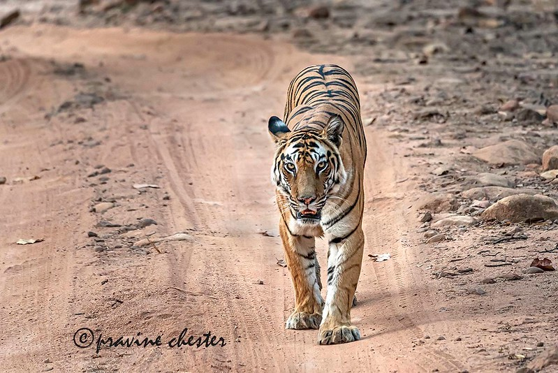 Tigress Solo walking down the path