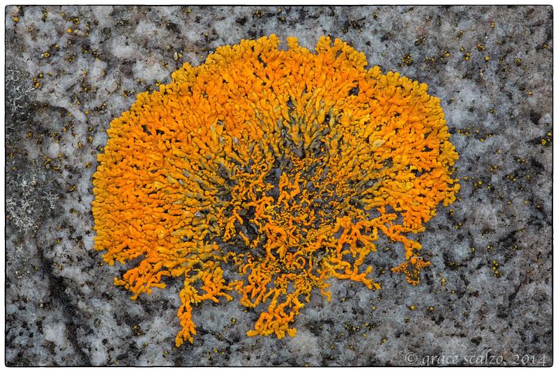 Orange Lichen, Churchill, Canada, June 2014