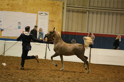 20 14 Arabian Weanling Colts & Geldings