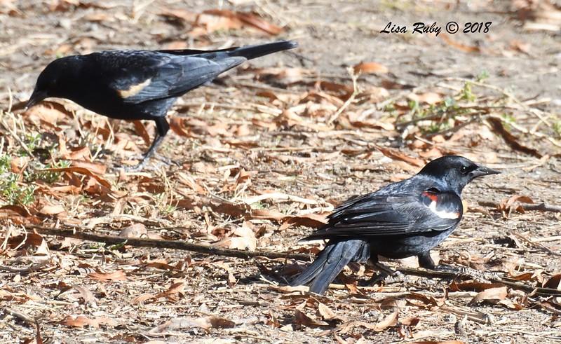 Tricolored Blackbird - 1/14/2018 - Lindo Lake