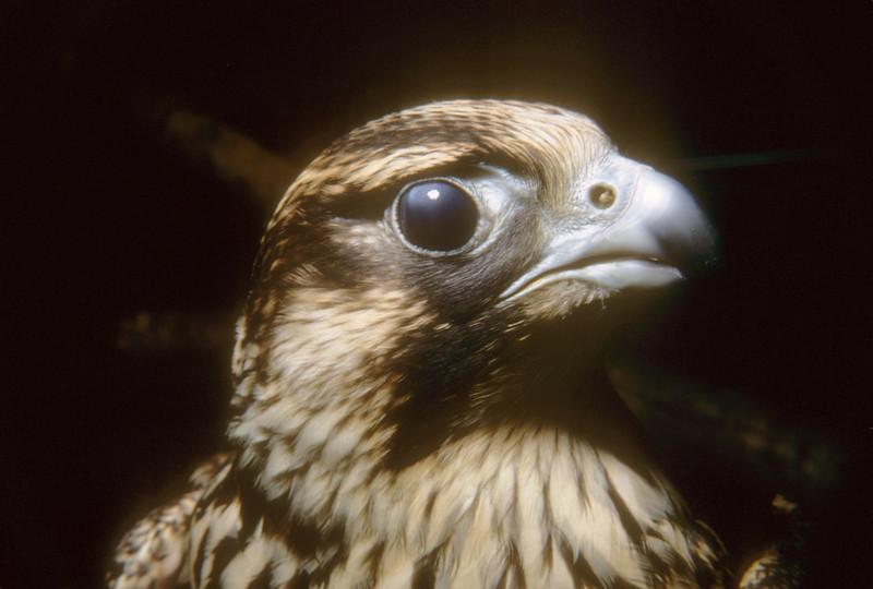 Peregrine Falcon (Falco peregrinus) Patuxent Wildlife Research Center, 1969