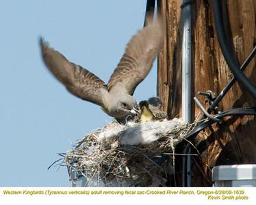 WesternKingbirdsA&N1639.jpg