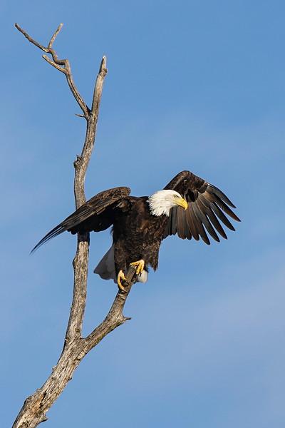 Shady Oak Eagle #8