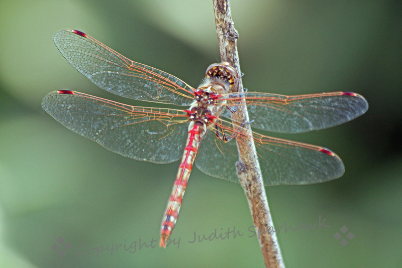"Variegated Meadowhawk ~ This male Variegated Meadowhawk was one of many species of dragonflies flitting around at San Jacinto Wildlife area today.  I liked its red ""plaid"" markings its tail, and the markings on its wings."