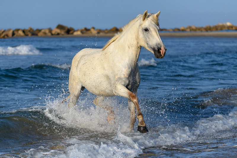 Camargue White Horse emerging from the sea.