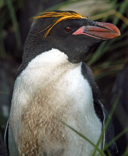 Antarctic-Macaroni Penguins