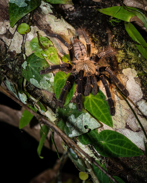 SPIDER - tanrantula-1665.jpg
