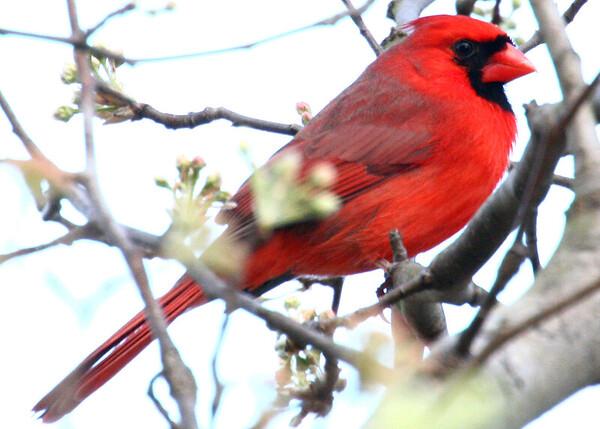 Cardinal 5x7 IMG_0424