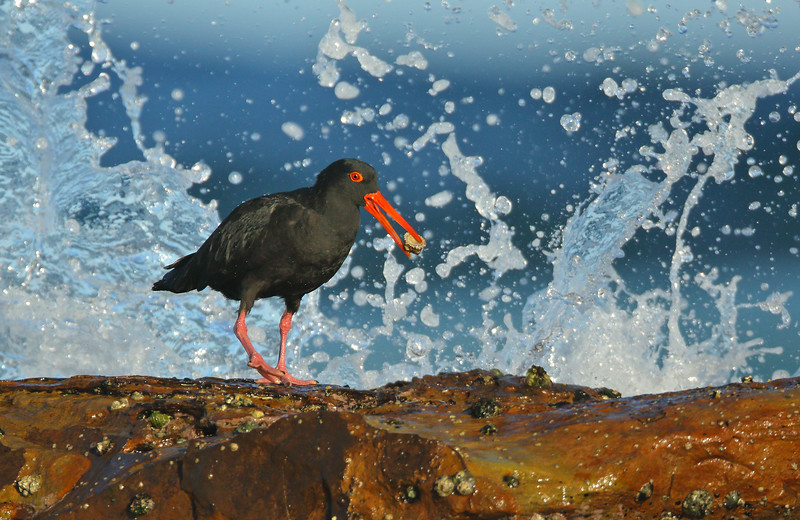 Sooty Oystercatcher feeding in surf.jpg