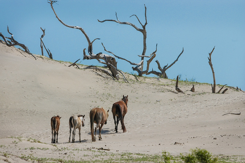 Wild Horses and Foals on Sand Dune #1
