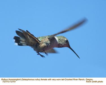 RufousHummingbirdF12751.jpg