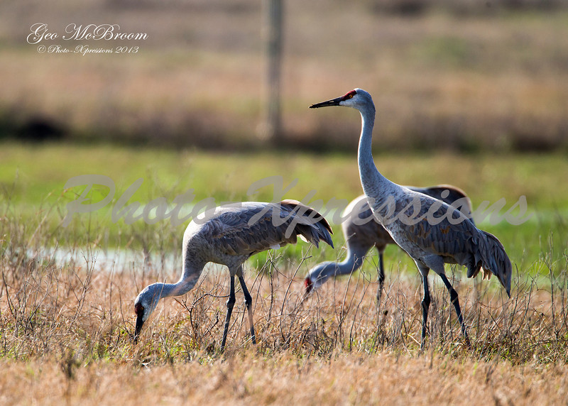 sand hill cranes feeding-print_6630.jpg