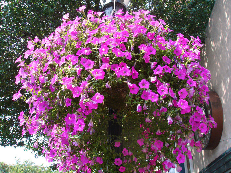 Petunias in Huntington