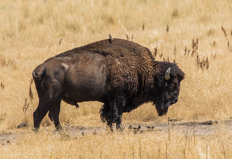 Bison at Antelope Island-6519.jpg