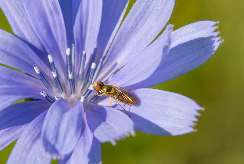 Chickory-hoverfly.jpg