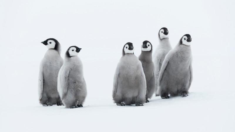 Emperor Chicks 2, Gould Bay, Antarctica
