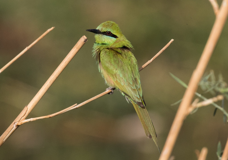 Green Bee-eater ssp. cleopatra