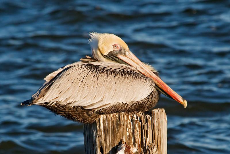Pelican - Brown - Apalachicola, FL - 03
