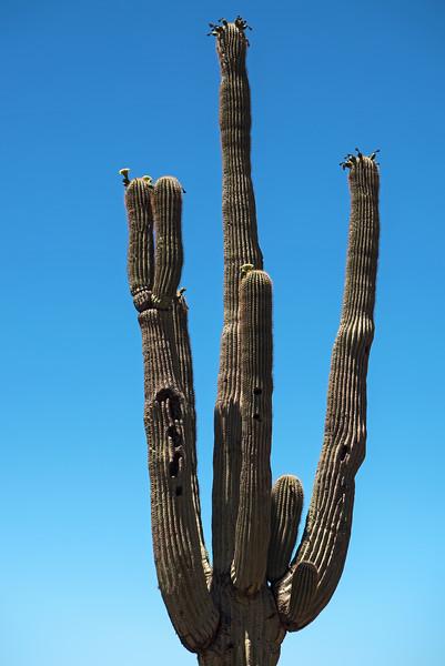 Battered Saguaro Cactus
