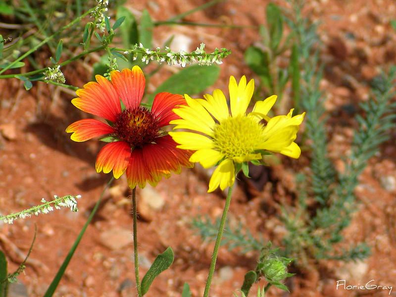 Desert Flowers, Sedona, AZ